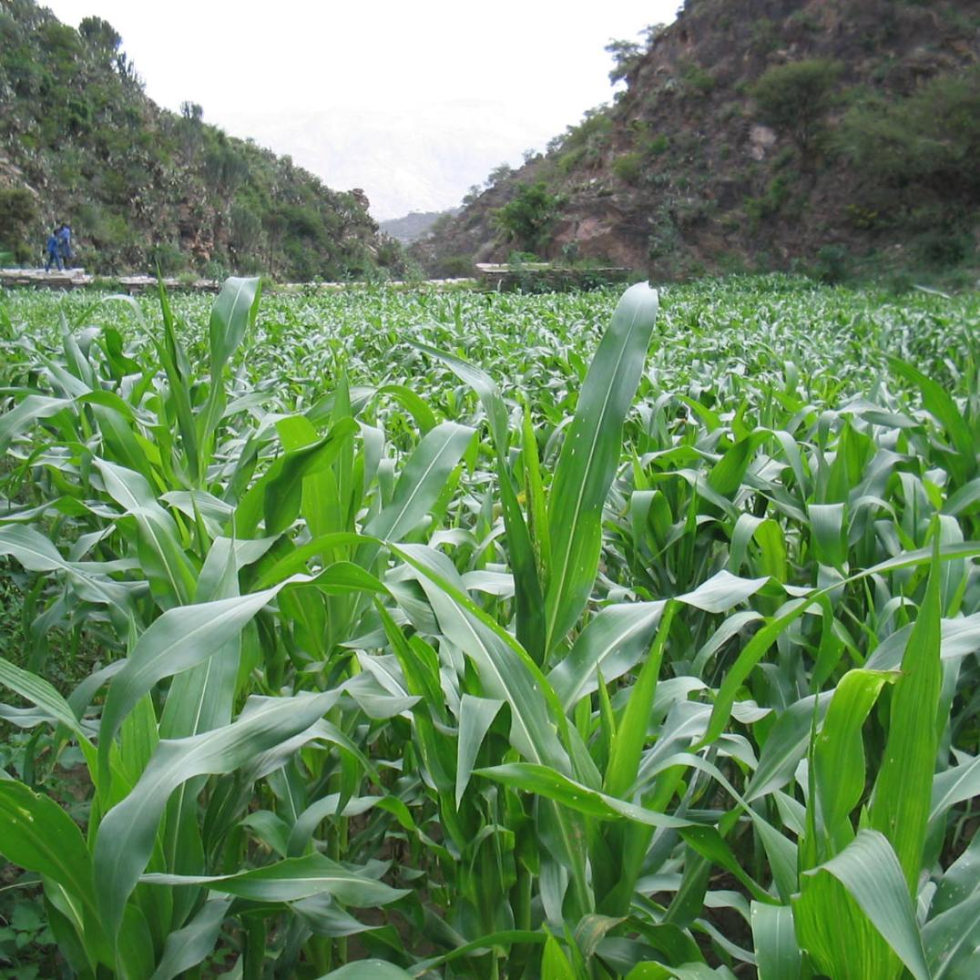 Prosperous cultivation of maize on the alluvial soils of a check dam (North Ethiopia, 2003)