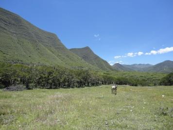 Tara plantation in Cajamarca (Peru, 2012)